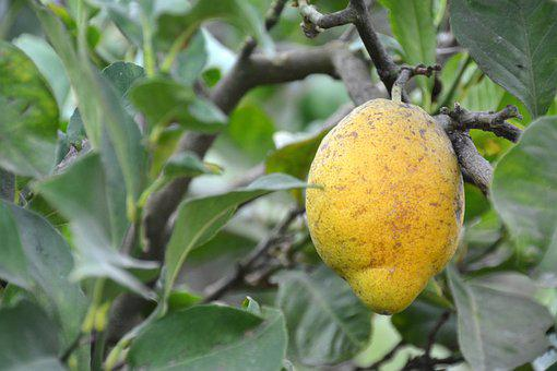 Lemon, Tree, Citrus Fruits, Fruit, Lemon Tree, Citrus