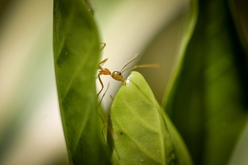 Green Ant, Building Nest, Green Ant Nest, Macro Photo