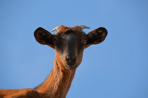 Goat, Livestock, Animal, Sky, Blue, Nature