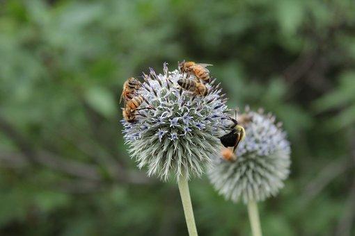 Bees, Nectar, Honeybees, Bee, Honeybee, Flower