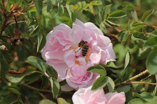 Flower, Bee, Bees, Nectar, Pink, Pink Flower