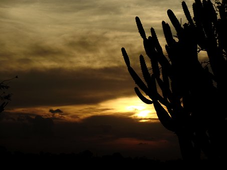 Cacti, Thorns, Sol, Afternoon, Horizon, Silhouette