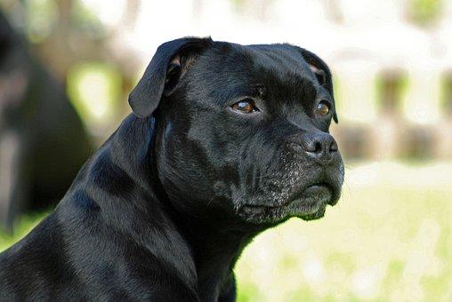 Animal, Dog, Staffordshire-bull-terrier, Model Sit