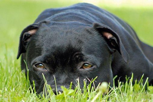 Animal, Dog, Staffordshire-bull-terrier, Wait