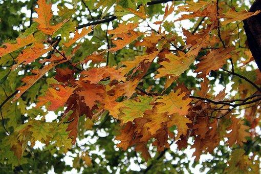 Oak, Foliage, Autumn, Tree, Autumn Gold, Oak Leaves