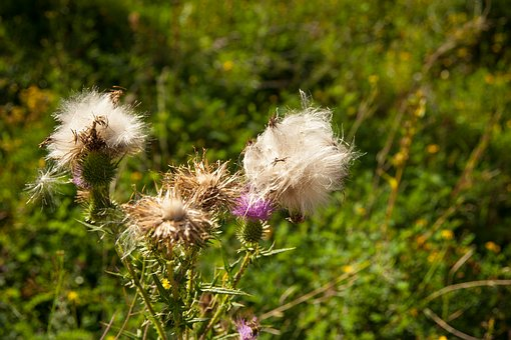 Thistle, Plant, Thistle Flower, Flower, Wild Flower