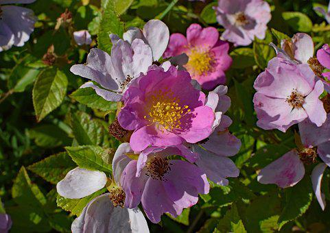 Wild Roses, Wildflower, Flower, Blossom, Bloom, Plant