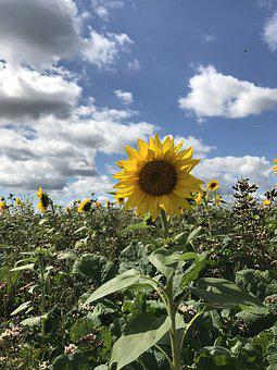 Sun Flower, Nature, Summer, Yellow, Blossom, Bloom