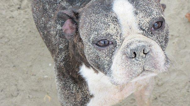 Boston, Perro, Dog, Arena, Pet, Terrier, Cute, Animal