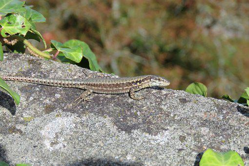 Green Lizard, Brittany, Reptile, Nature, Animal, Fauna