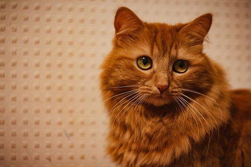 Cat, Cute, Mammals, Pet, Portrait, Animals, Kitten