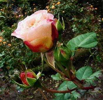 Roses, Pink, Rose Flower, Romantic, Beautiful, Blossom