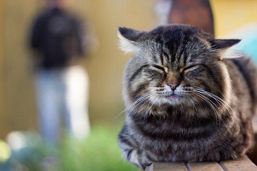 Animals, Cat, Pet, Cute, Mammals, Portrait, Focus