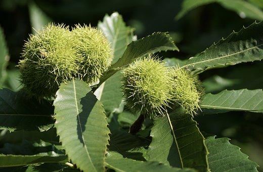 Chestnut, Tree, Nature, Autumn, Fruit, Chestnut Tree
