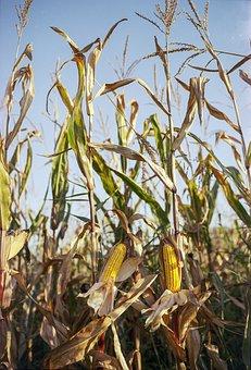 Corn, Cob, Grain, Food, Organic, Fresh, Agriculture
