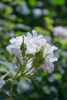 Macro, Flower, White, Bud, Petals, Macro Photography