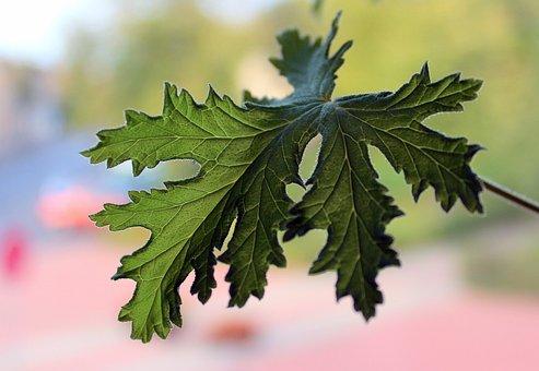 Geranium, Foliage, Medicinal Plants, Potted Flower