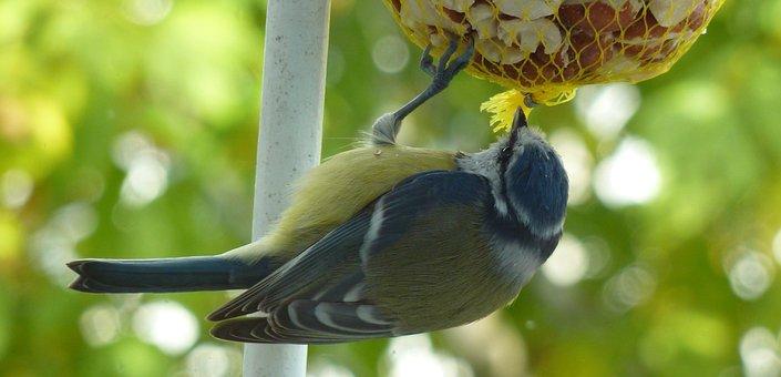 Tit, Bird, Feather, Blue Tit, Garden, Animal, Nature