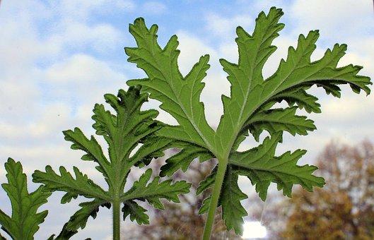 Geranium, Medicinal Plants, Potted Flower, Foliage