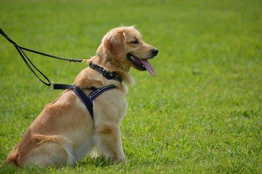 Golden Retriever, Pet, Dog, Golden, Retriever, Animal