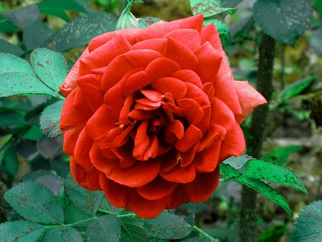 Rose, Red, Flower, Red Rose, Bloom, Hampton Court