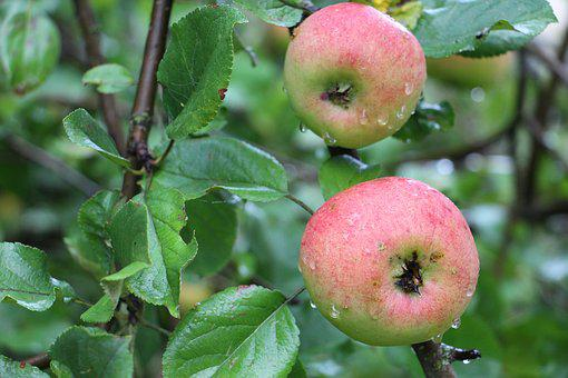 Apple, Tree, Apples, Red, Branch, Healthy, Fresh, Fruit