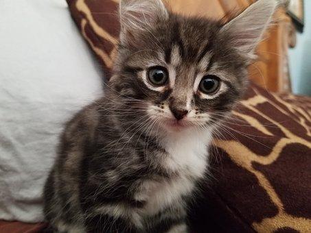 Kitty, Cute, Pet