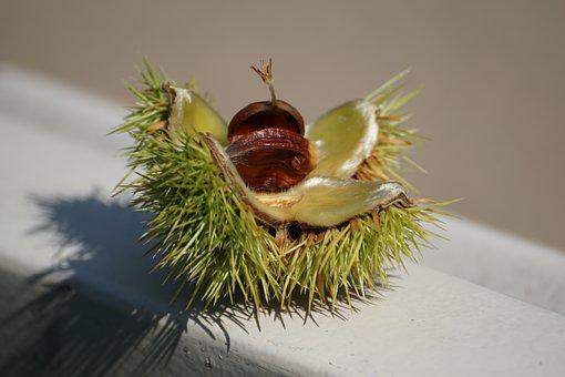 Chestnut, Tree, Autumn, Prickly, Fruit, Shell, Nature