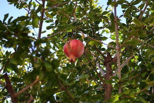 Pomegranate, Fruit, Botany, Shrub, Nature, Health