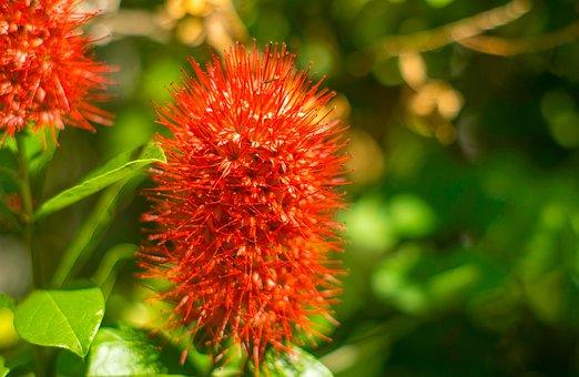 Christmas Bush, Queensland Garden, Flowering Shrub