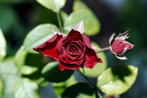 Red, Rose, Petal, Bud, Flower, Red Roses, Love