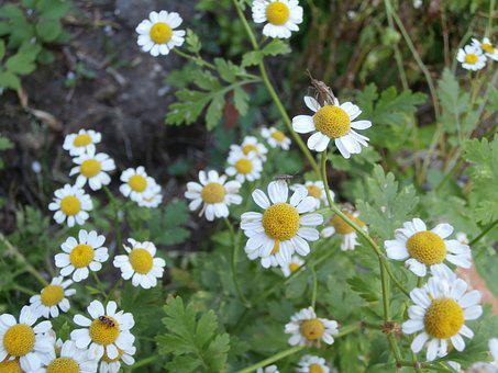Chamomile, Insect, White Flowers, Flowers, Garden
