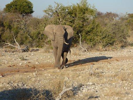 Wildlife, Elephant, Namibia