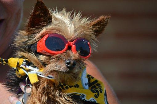 Yorkshire Terrier, Pet, Dog, Terrier, Cute, Yorkshire
