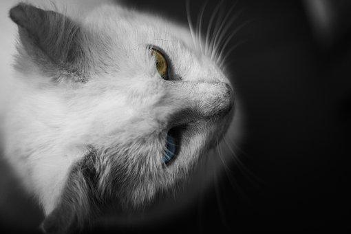 Animal, Cat, Cute, Domestic, Downy, Eye, Fur, Grey