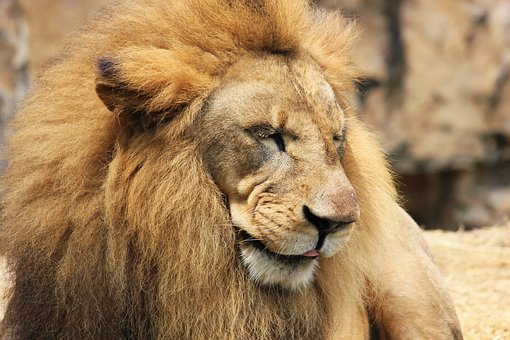 Lion, Mane, Cat, Wildcat, Lion's Mane, King, Males