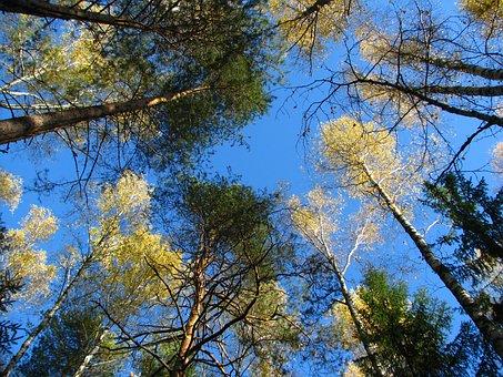 Blue Sky, Forest, Birch, Christmas Tree, Pine