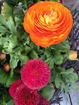 Flower, Ranunculus, Blossom, Bloom, Close, Petals