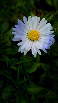 Flower, Garden, Daisy, Blossom, Bloom, Nature