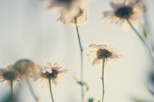 Background, Beautiful, Country, Daisies, Flowers, Green