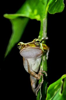 Tree Frog, Frog, Night, Fuyang Park, Plant