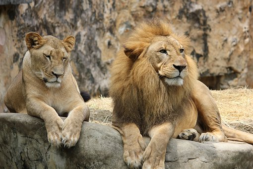 Lion, Lioness, Pair, Animal World, Cat, Lion's Mane