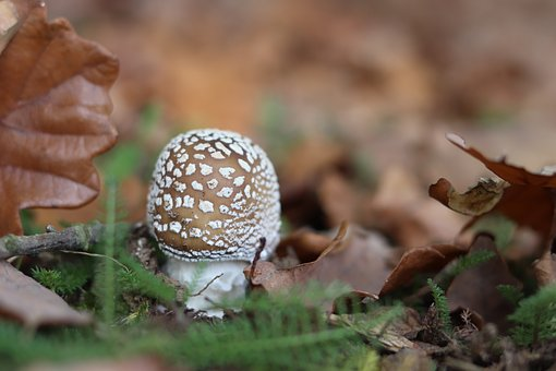 Mushroom, Mushrooms, Autumn, Leaves