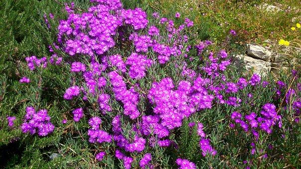 Ibiza, Spring, Pink Flowers, Shrubs