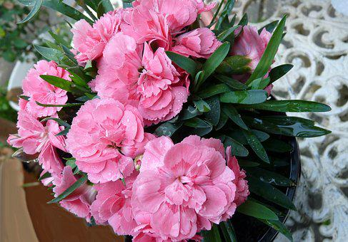 Carnation, Pink, Pot Plant
