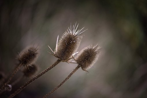 Thistle, Weed, Nature, Macro, Prickly, Plant