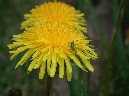 Dandelion, Nature, Blossom, Bloom, Pointed Flower