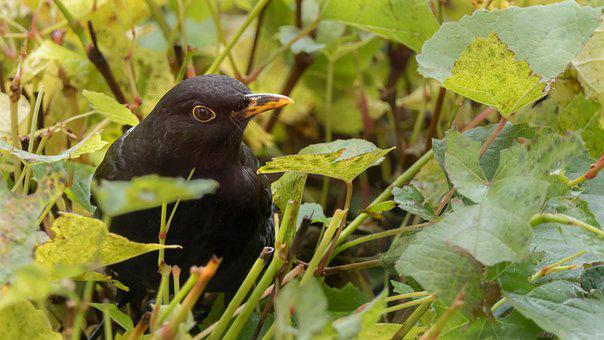 Blackbird, Bird, Wine, Nature, Rearing
