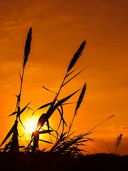 Reeds, Sun, Sunset, Nature, Shadows, Silhouettes