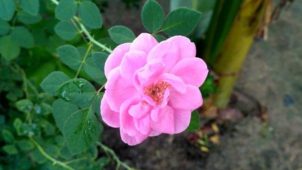 Rose, India Rose, Rose Flower, Pink, Flower, Petal